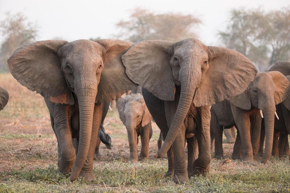 01-tuskless-elephant-elephantvoices-img_6734_processed.ngsversion.1541763003911.adapt.1900.1